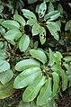 Schefflera wallichiana 16.JPG