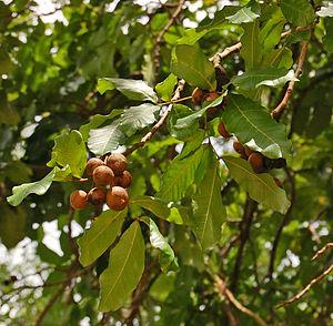 Schleichera - Fruits.