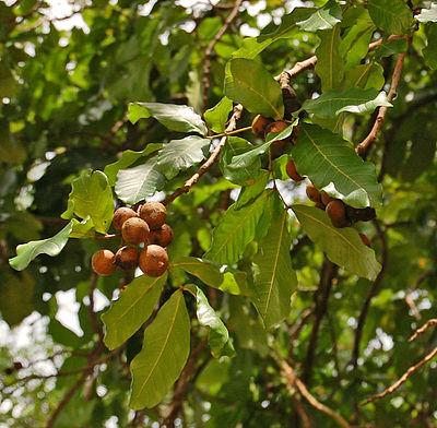 Kusum oil - WikiMili, The Free Encyclopedia