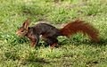 Sciurus vulgaris (Madrid, Spain) 01.jpg