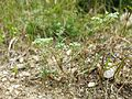 Scleranthus perennis sl2.jpg