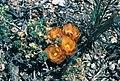 Sclerocactus pubispinus fh 103 9 UT B.jpg