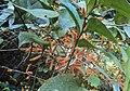 Scleropyrum pentandrum or Scleropyrum wallichianum 09.JPG