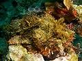 Scorpaena sp. (Scorpionfish - tassled).jpg