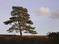 Scots pine east of the Foxhunting Inclosure, New Forest - geograph.org.uk - 112799.jpg