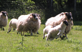 Scottish Blackface Ewes and Jumping Lamb.png