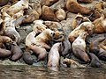 Sea Lions Haulout 2008 WC84.jpg