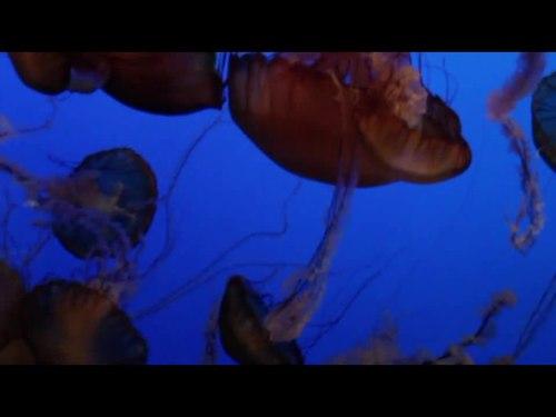 "File:Sea Nettle (""Chrysaora Fuscescens""), Monterey Bay Aquarium.ogv"