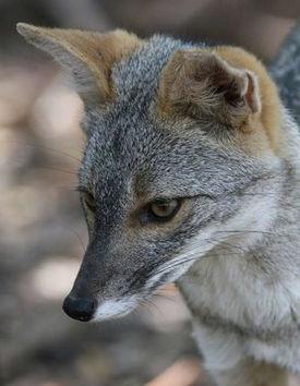 https://upload.wikimedia.org/wikipedia/commons/thumb/9/94/Sechuran_fox.jpg/275px-Sechuran_fox.jpg