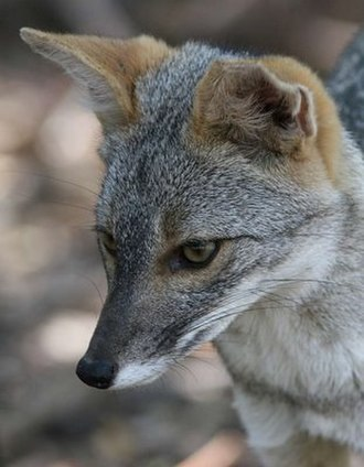 Sechuran fox - Image: Sechuran fox