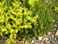 Sedum acre plant and flowers.png