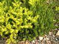 Sedum acre plant and flowers.png