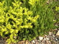 Sedum acre plant and flowers