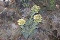 Sedum paradisum Shirtale Peak 007 (8346930166).jpg