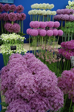 Allium - Selection of cultivated alliums displayed at the BBC Gardeners' World show