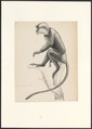 Semnopithecus cucullatus - 1749-1842 - Print - Iconographia Zoologica - Special Collections University of Amsterdam - UBA01 IZA1000867.tif
