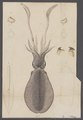 Sepioteuthis lessoniana - - Print - Iconographia Zoologica - Special Collections University of Amsterdam - UBAINV0274 090 05 0024.tif