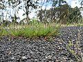 Setaria parviflora plant2 (7411173136).jpg