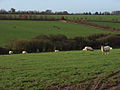 Sheep near Warren Row - geograph.org.uk - 289159.jpg
