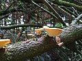 Shrooms on a tree - Flickr - Stiller Beobachter.jpg