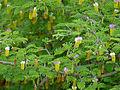 Sicklebush (Dichrostachys cinerea) (11532939184).jpg