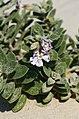 Silene succulenta 1.JPG