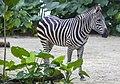 Singapore Zoo Zebra-01 (11655666884).jpg
