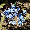 Sinilill (Hepatica nobilis).jpg