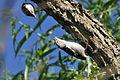 Sitta carolinensis feeding fledgeling nuthatch.jpg