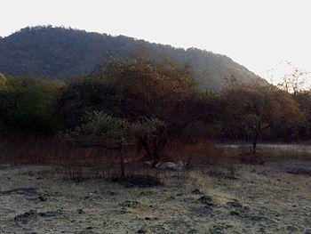 Sleeping lion - Gir Forest3.jpg