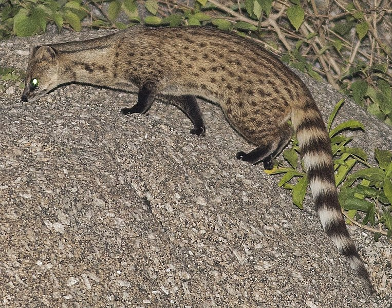 Datei:Small Indian Civet (cropped).jpg