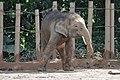 Smallish build of the Pygmy Elephant (11932302984).jpg