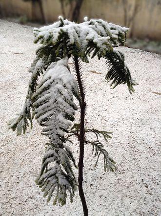 Araucaria heterophylla - Image: Snow on Araucaria