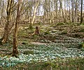 Snowdrops and steep woodland - geograph.org.uk - 1176786.jpg