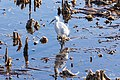 Snowy egret (31945640480).jpg