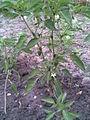 Solanales - Capsicum annuum 2 - 2011.09.07.jpg