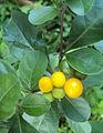 Solanum diphyllum2.jpg