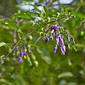 Solanum dulcamara-IMG 9305.jpg