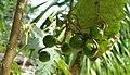 Solanum incompletum (4933767092).jpg