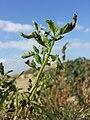 Solanum nitidibaccatum sl71.jpg