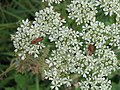Soldier beetles - geograph.org.uk - 503017.jpg