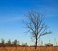 Solitaire bomen in zompig rietland. Nationaal Park Weerribben-Wieden 02.jpg
