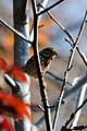 Song Sparrow, Caledon State Park, Virginia (5352299719).jpg