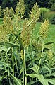 Sorghum bicolor (4055518651).jpg