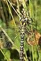 Southern Hawker dragonfly (10207658105).jpg