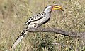Southern Yellow-billed Hornbill, Tockus leucomelas at Mapungubwe National Park, Limpopo, South Africa (18299900772).jpg