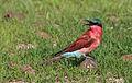 Southern carmine bee-eater, Merops nubicoides, Chobe National Park, Botswana (31617949644).jpg