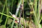Southern hawker dragonfly (Aeshna cyanea) female.JPG
