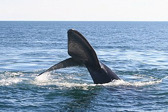 Biedma Department - Southern right whale.