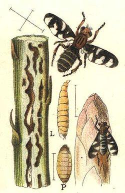 Plioreocepta poeciloptera